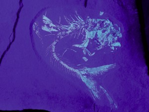 Knochenfisch der Gattung Tischlingerichthys unter UV-Licht.