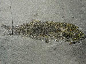 Palaeoniscum freieslebeni mit typischen Kupferkiesverzierungen.