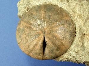"""Ein """"Fazieshandstück"""" mit einem auf Gestein belassenen Conoclypus plotii, Durchmesser des Seeigels ca. 8 cm."""
