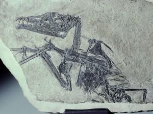 Der Holotypus von Eudimorphodon ranzii, Schädellänge 9 cm.