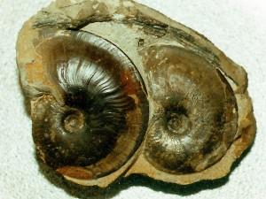 Platylenticeras heteropleurum, Größe des linken Exemplars 5,2 cm.