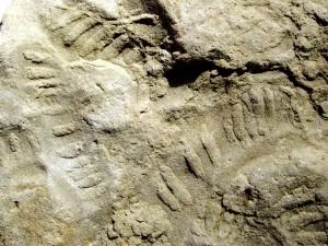 Plagiogmus arcuatus, Spuren peristaltischer Bewegungen.