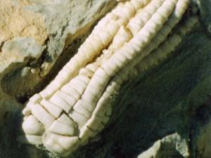 Krone von Chelocrinus carnalli Beyrich, Größe 32 mm.