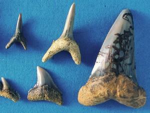 Großer Zahn recht: Isurus hastalis (Agassiz 1843), 42 mm hoch.