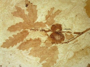 Fossiler Zweig einer Eiche Quercus sp.