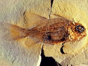 Der Fisch Dipteronotus, Länge 35 mm.