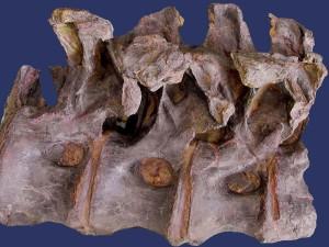 Rückenwirbel von Tehuelchesaurus.