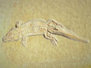 Die Eidechse Ardeosaurus brevipes aus dem Solnhofener Plattenkalk von Eichstätt, Länge 17,5 cm.