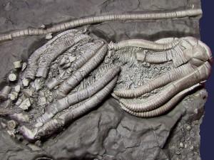 Zwei Kronen von Encrinus liliiformis mit teilweise weitgehenden Zerfallserscheinungen.