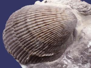 Die Muschel Plagiostoma striatum (Schlotheim) mit Farbmustern.