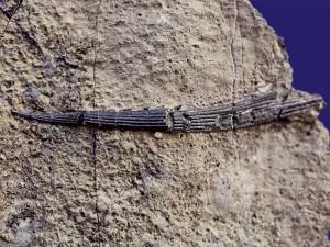 Flossenstachel eines Hais der Gattung Hybodus.