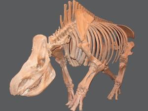 Ein aus Knochen verschiedener Fundstellen zusammengestelltes rekonstruiertes Wollnashornskelett.