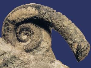 Falcilituites cf. decheni Remelé, größter Durchmesser 8,5 cm.