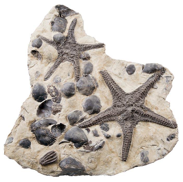 Fossilien von Schichten